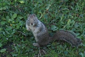 Ground Squirrel watching us