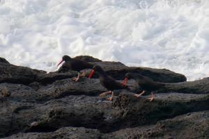 Doing the Oystercatcher Dance