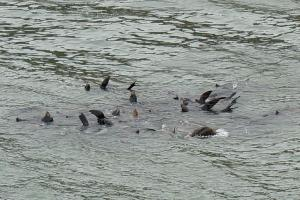 Raft of Sea Lions at Cape Arago