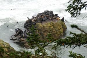 "The ""Boy's Club"" at Cape Arago"