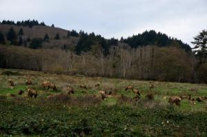 Elk herd off Highway 101