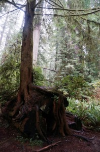 Redwood growing from nurse log