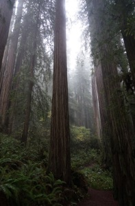 Fog shrouded redwood forest