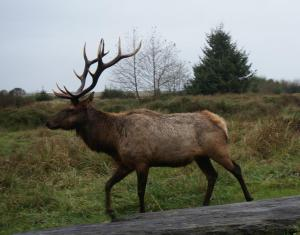 Bull elk on trail