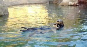 Sea otter feeding on clams