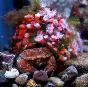 Oregon Cancer Crab