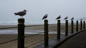 Nye Beach sea gulls at attention