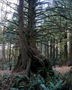 Nurse log trees with entwined roots