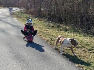 Snowless dog sledding