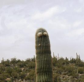 Minion disguised as a Saguaro